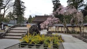 桜と山吹4.10①