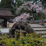 桜と山吹4.10②