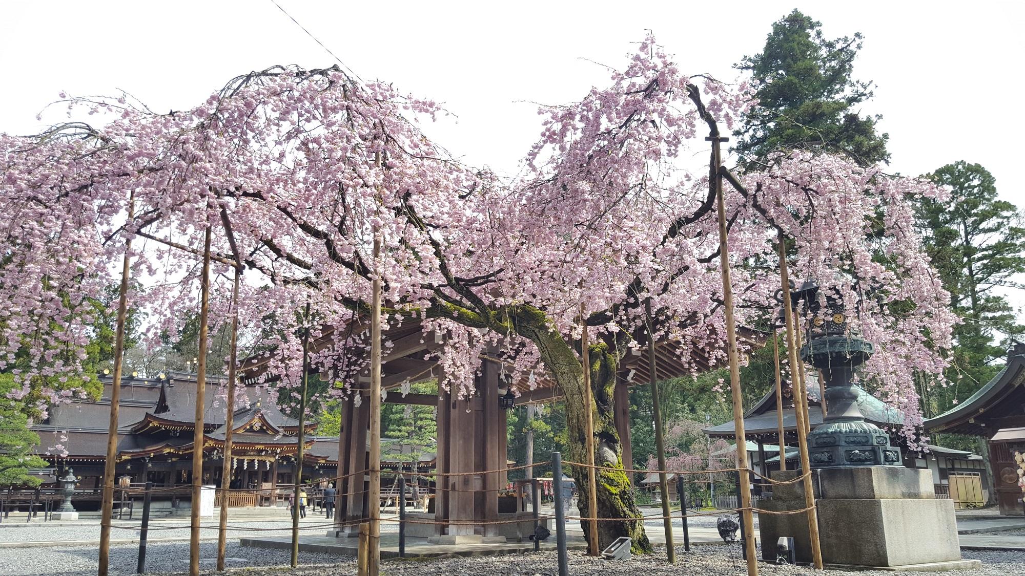 平成29年 桜情報(見頃)