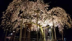 桜4.10①