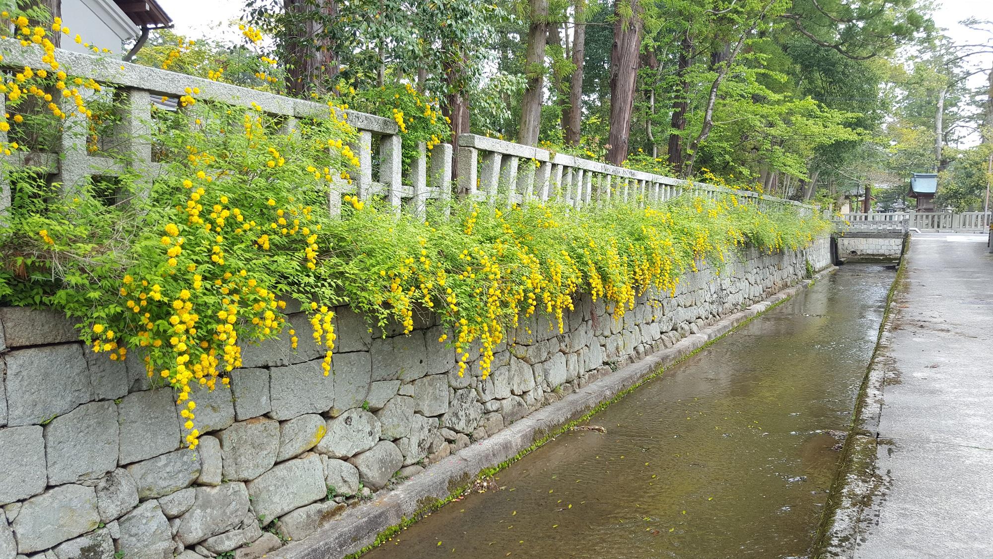 平成29年 山吹情報(車戸川沿い)